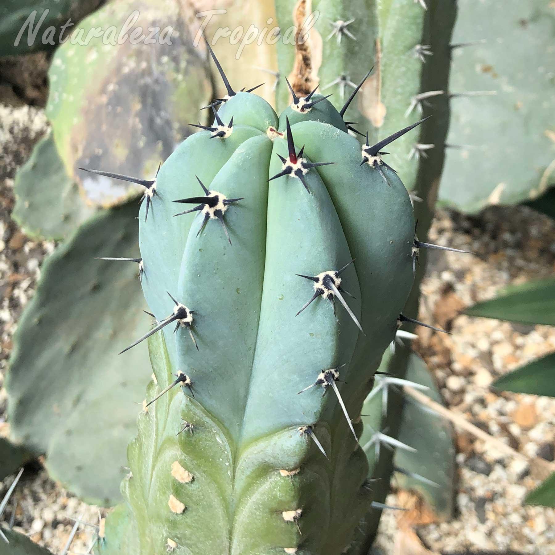 Otra imagen del tallo del cactus Myrtillocactus geometrizans