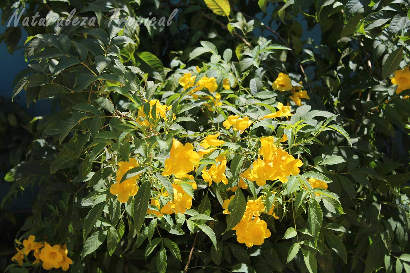 Vista del arbusto conocido como Bignonia amarilla, Tecoma stans