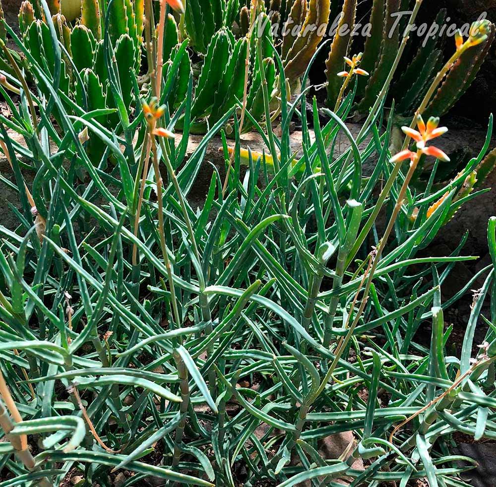 Cultivo de la planta suculenta Aloe millotii