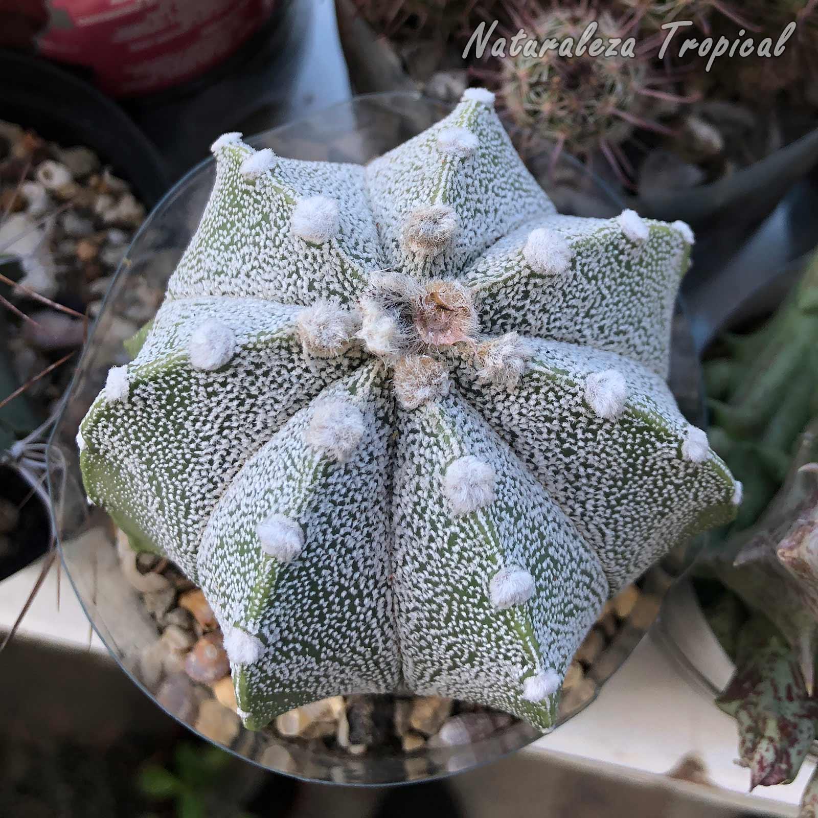 Vista del tallo de un hermoso híbrido del género Astrophytum
