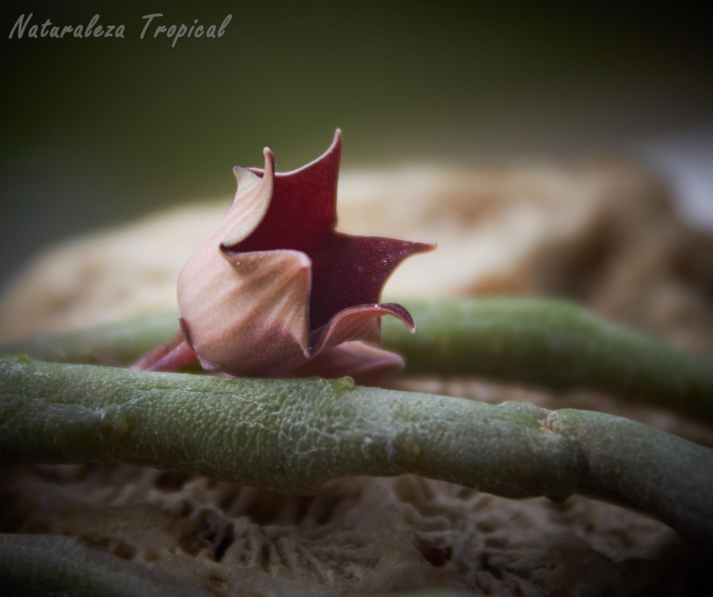 Flor y tallos de la planta suculenta Huernia pendula