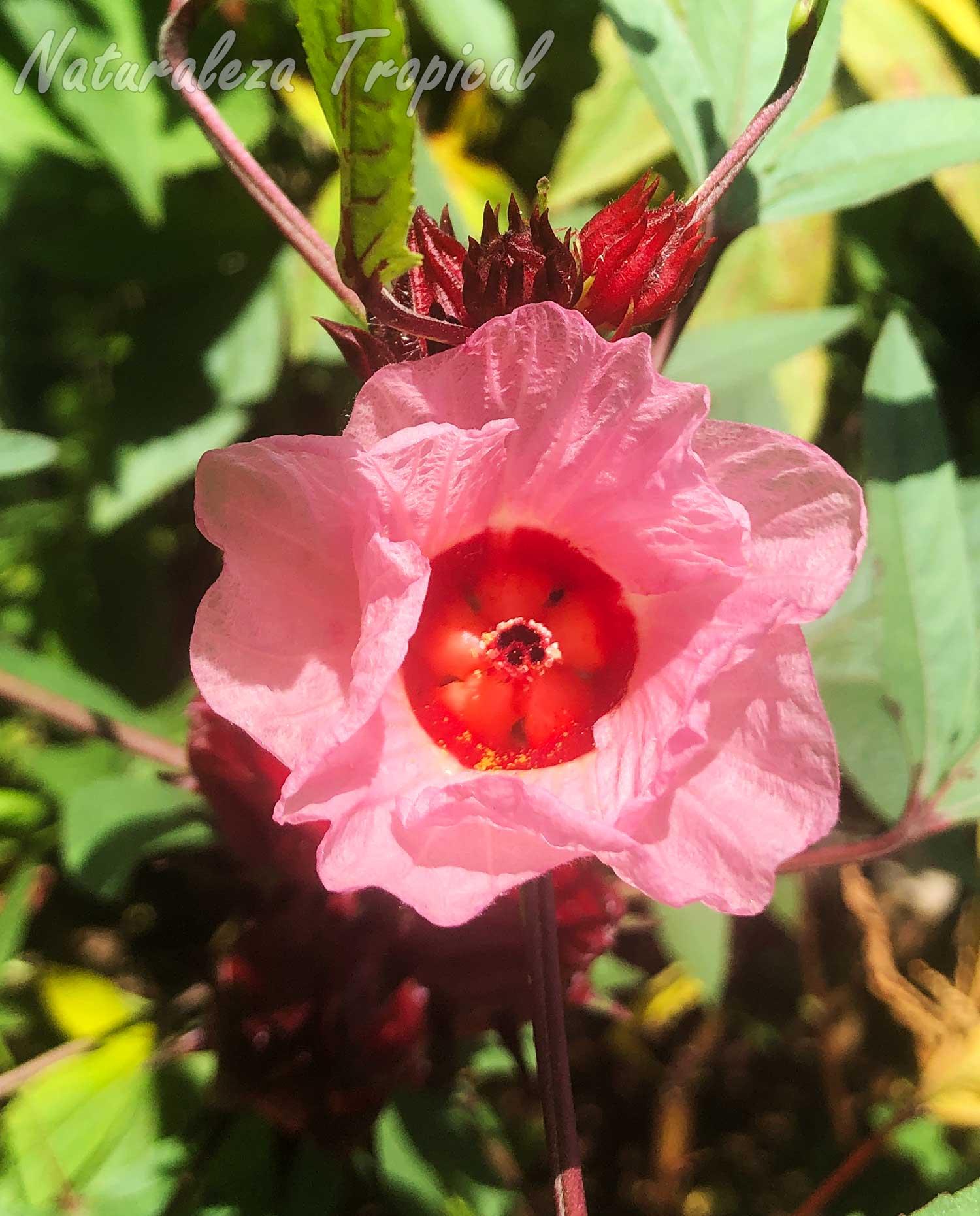 Flor de la Rosa de Jamaica, Hibiscus sabdariffa