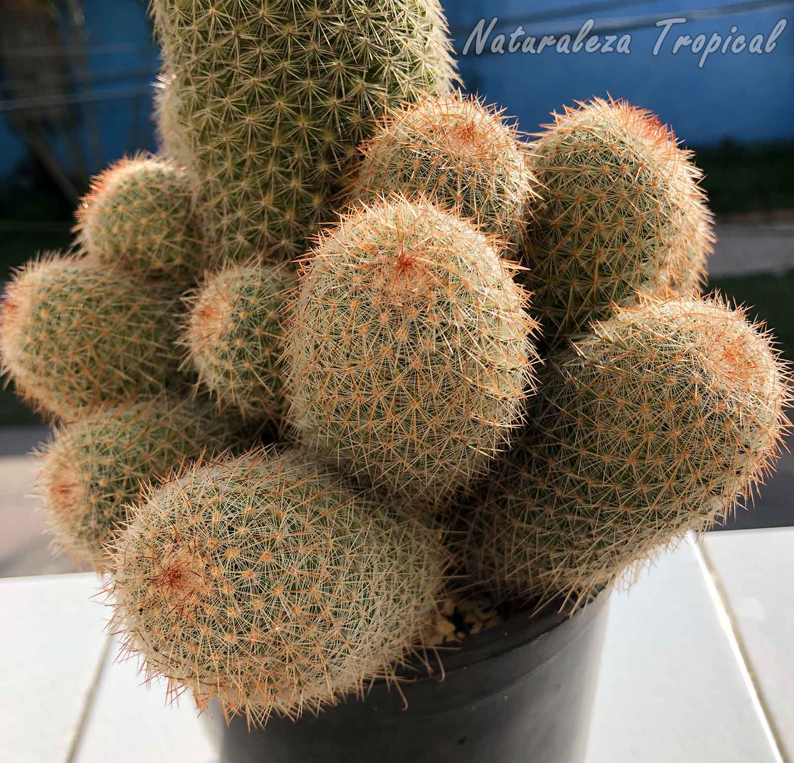 Detalles de los hijuelos del cactus Mammillaria guerreronis