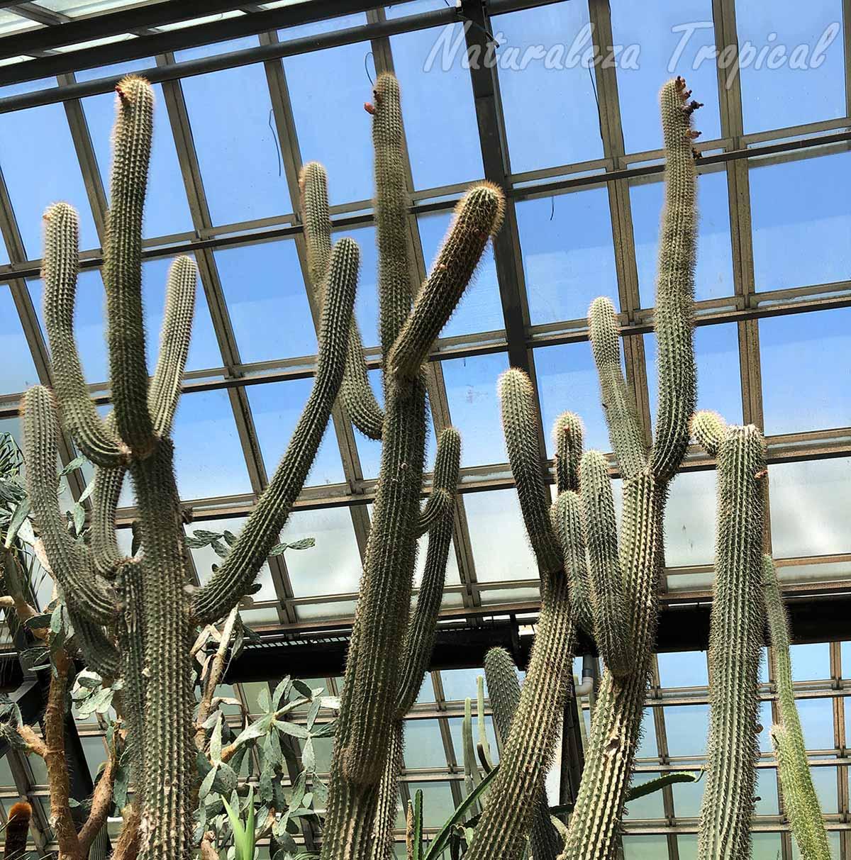 Vista del cactus Neobuxbaumia scoparia y su porte de candelabro