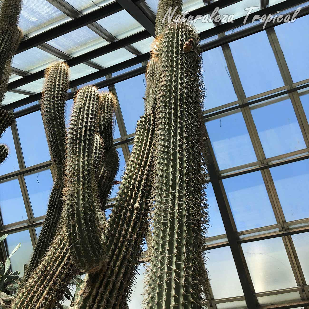 Otra imagen de los tallos del cactus Neobuxbaumia scoparia