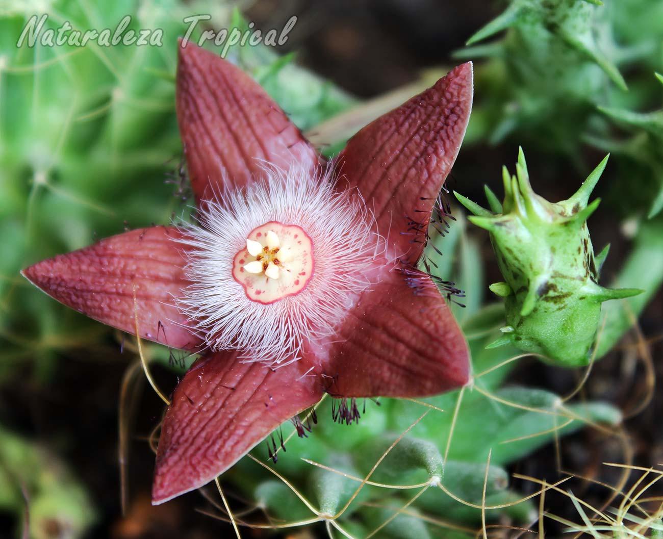 Otra vista de la flor de la planta suculenta Duvalia sulcata