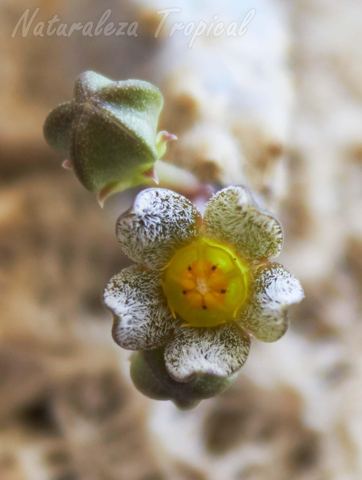 Otra foto de la flor de la planta suculenta Caralluma burchardii ssp. maura
