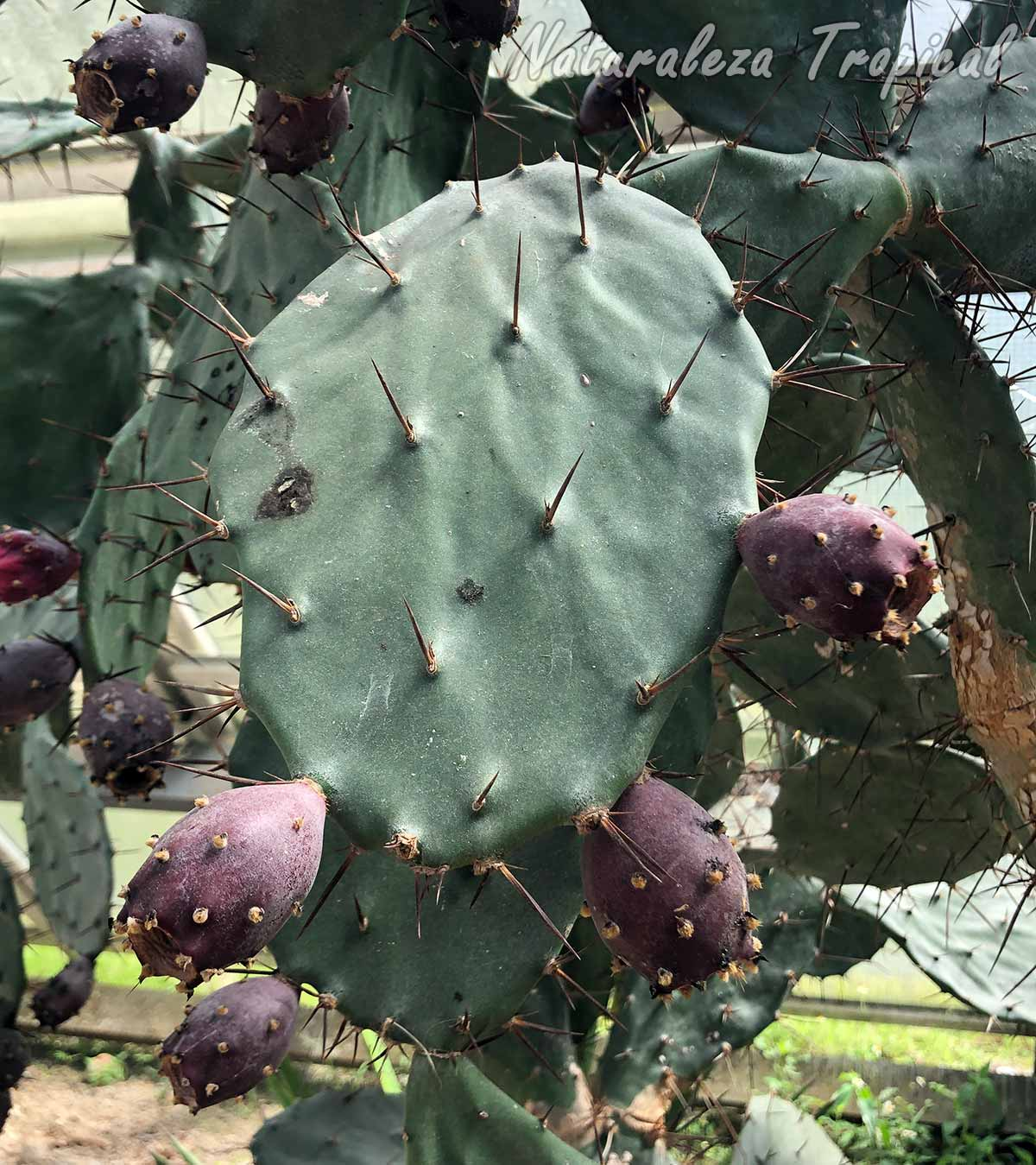 Cladodio con frutos del cactus Opuntia schumannii