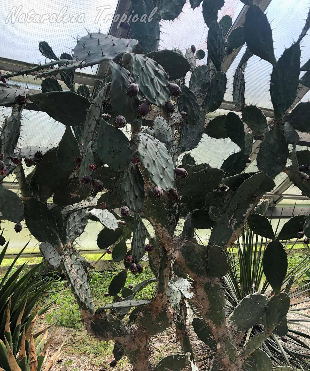 Vista del cactus Opuntia schumannii