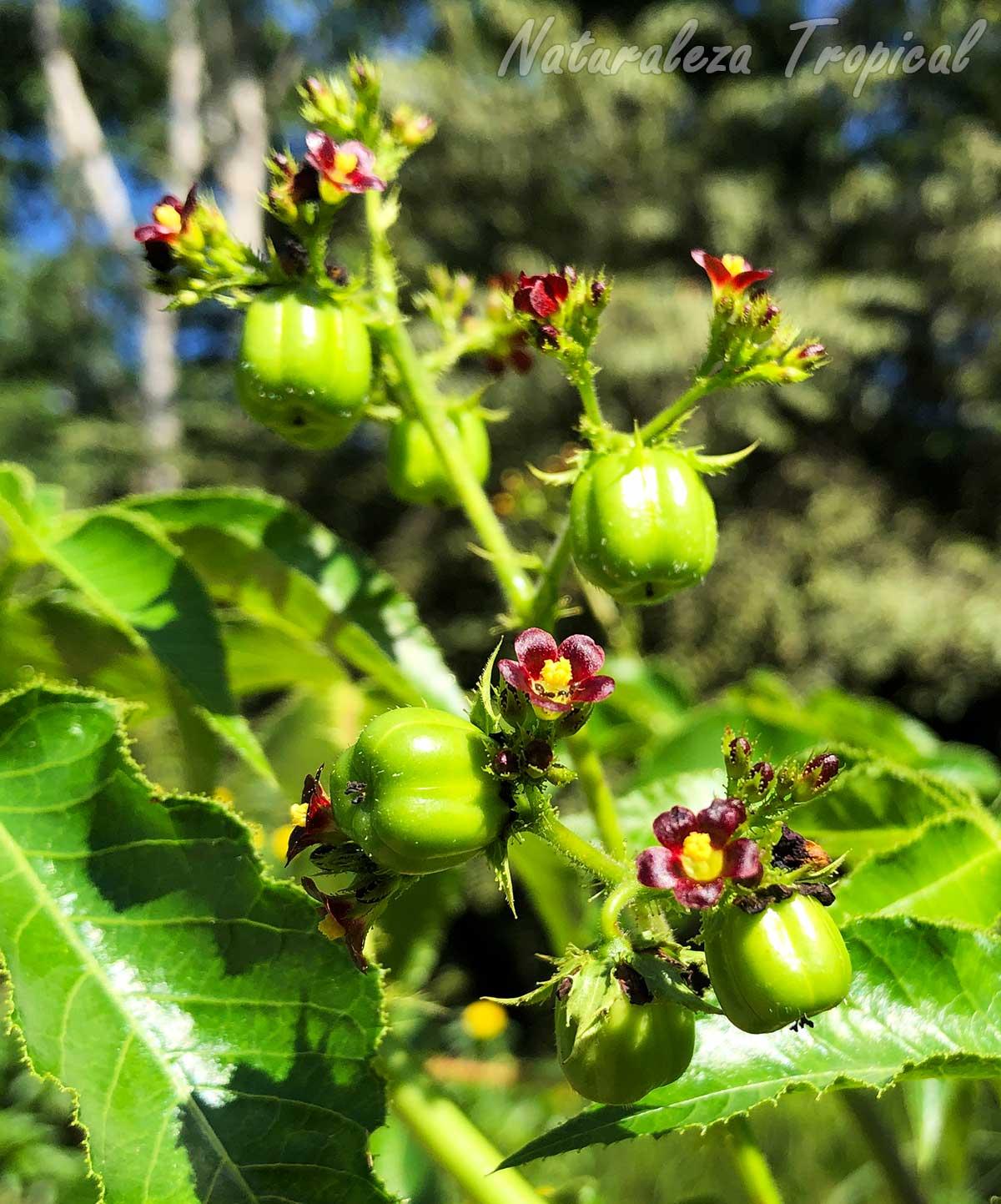 Flores y frutos de la planta Tuatua, Jatropha gossypiifolia