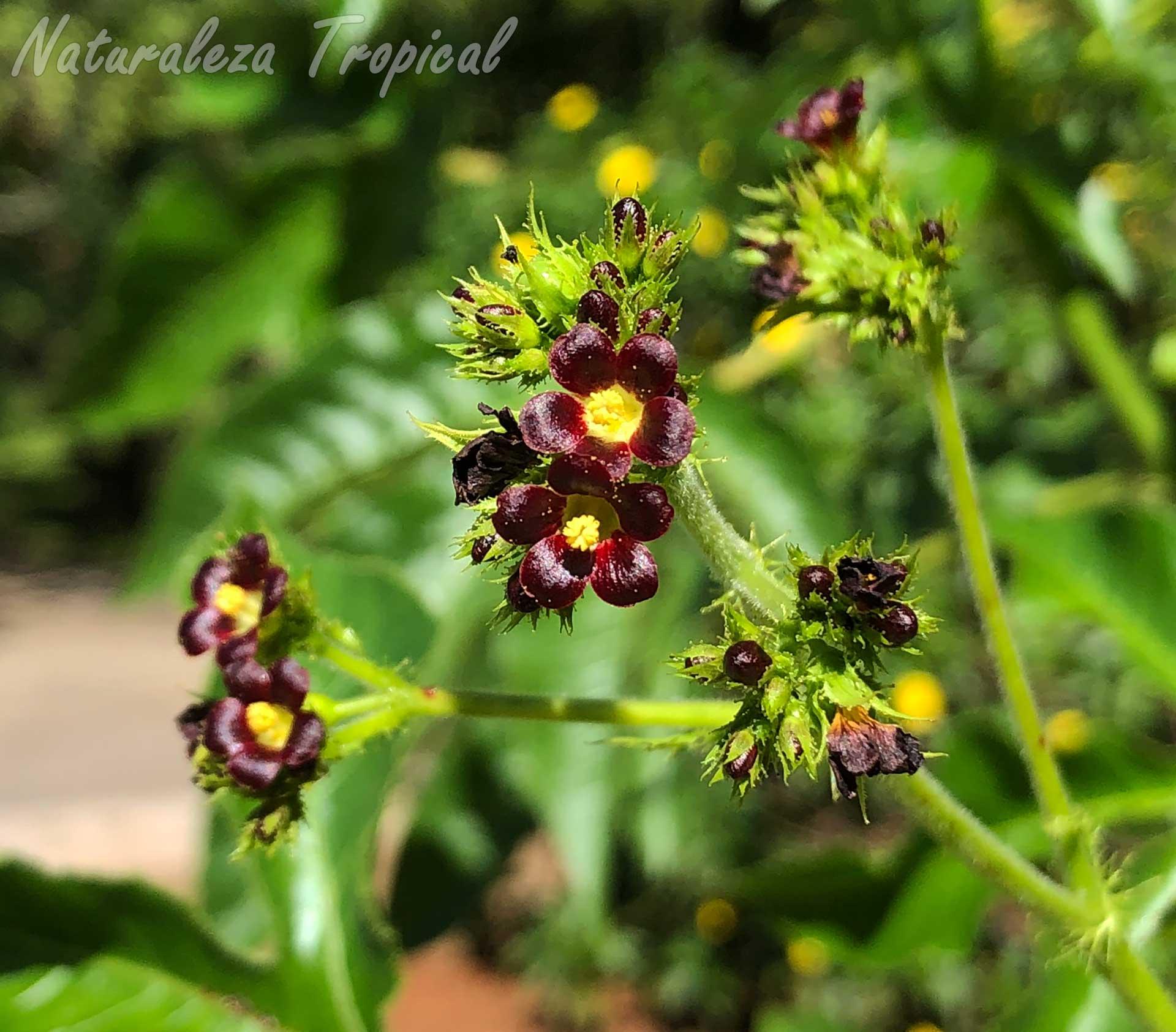 Flores características de la planta Tuatua, Jatropha gossypiifolia