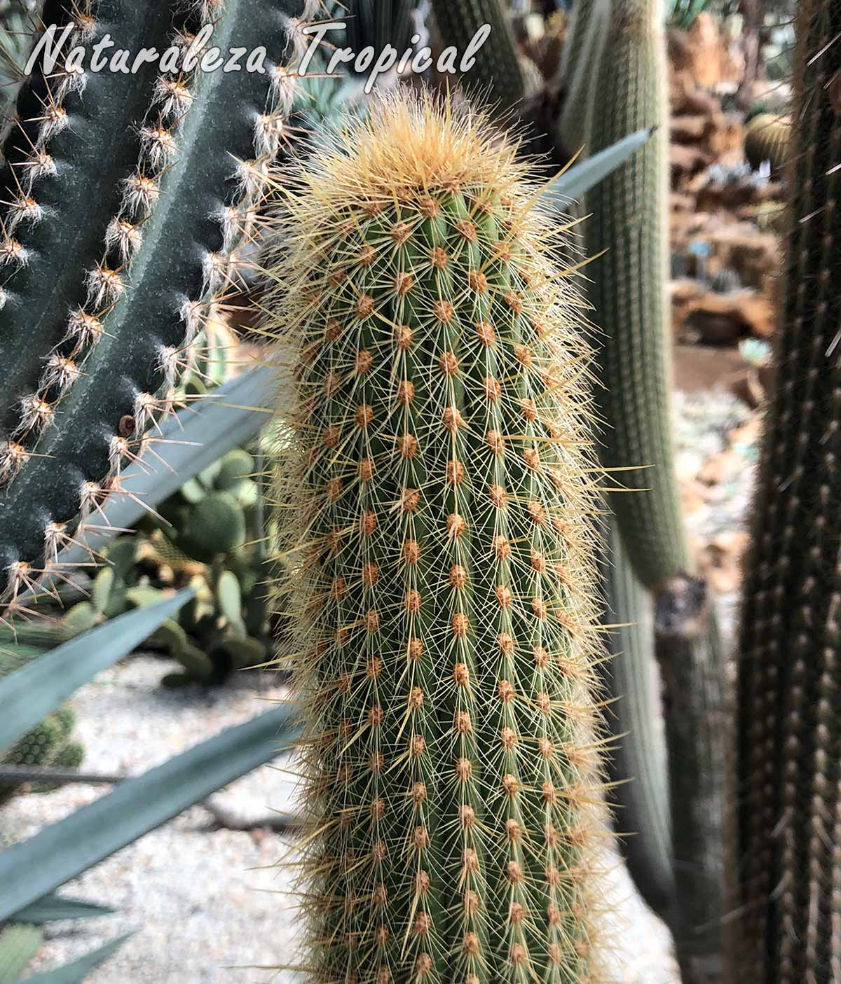 Vista del tallo característico del cactus Espostoa guentheri