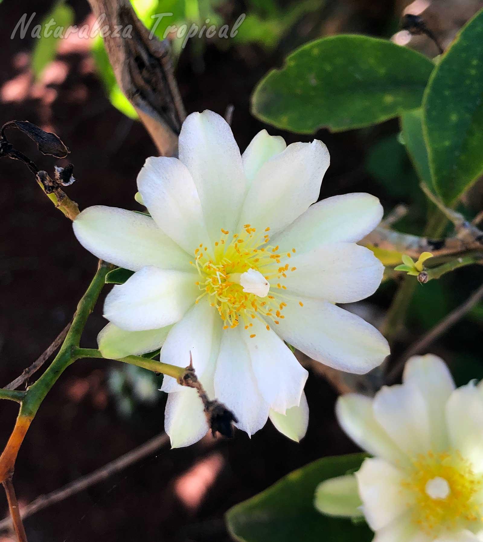 Detalles de la flor del cactus Corona de Novia, Pereskia aculeata