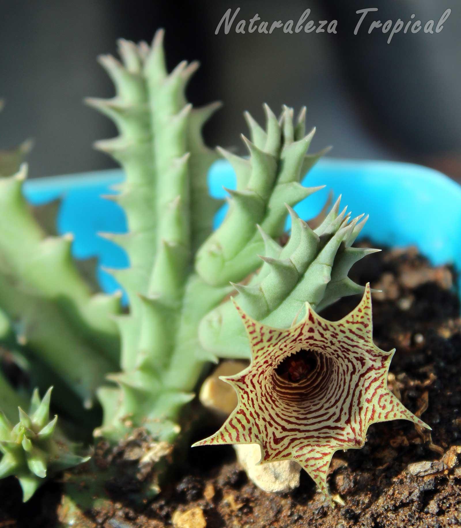 Vista de la flor y tallos del híbrido cubano del género Huernia (otro ángulo)