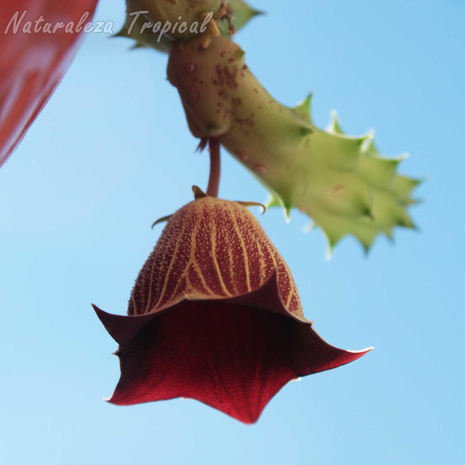 Vista de la flor y tallo de la planta suculenta Huernia keniensis var. nairobiensis