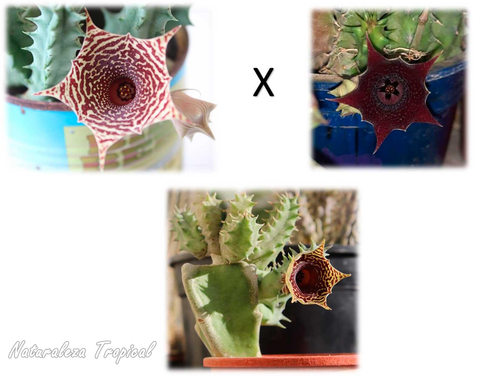 Parentales cruzados para la obtención de la planta suculenta Huernia ᶦHabaneraᶦ (clon 1). Planta madre a la izquierda y padre a la derecha