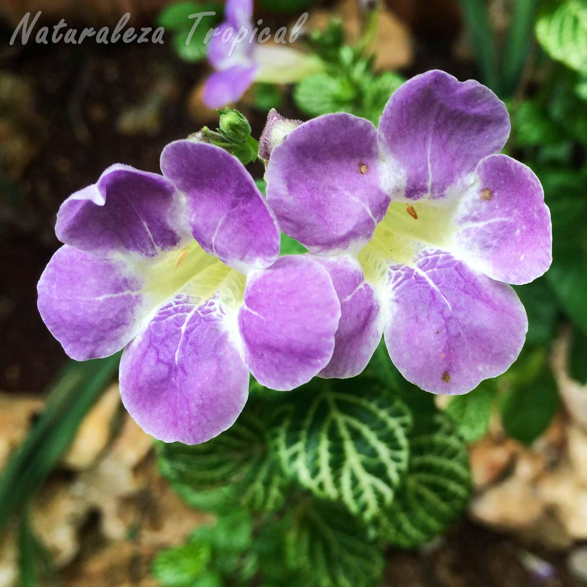 Flores características de la planta ornamental Asystasia gangetica, Violetas o Campanitas de Jardín