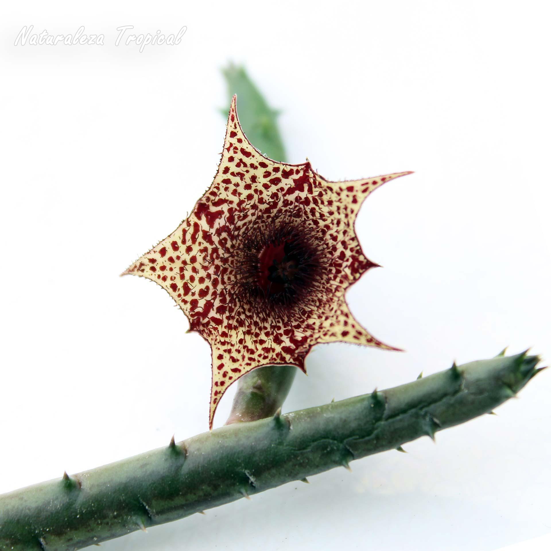 Vista de la flor y tallo de la planta suculenta Huernia recondita