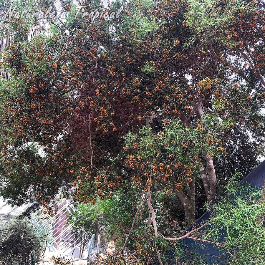 Vista de la planta cubana Espuela de caballero (Jacquinia brunnescens) en floración