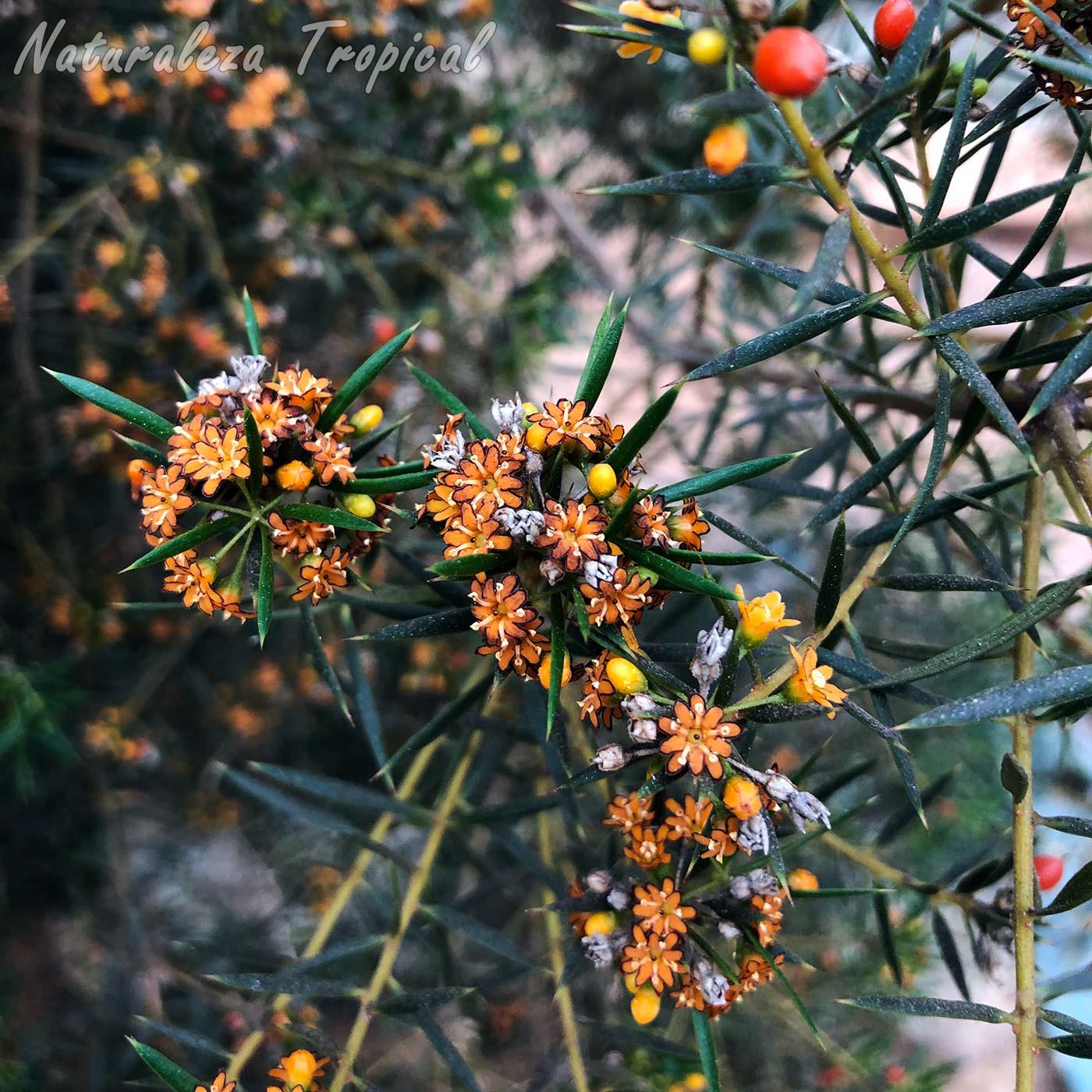 Floración en una rama de la planta cubana Espuela de caballero, Jacquinia brunnescens