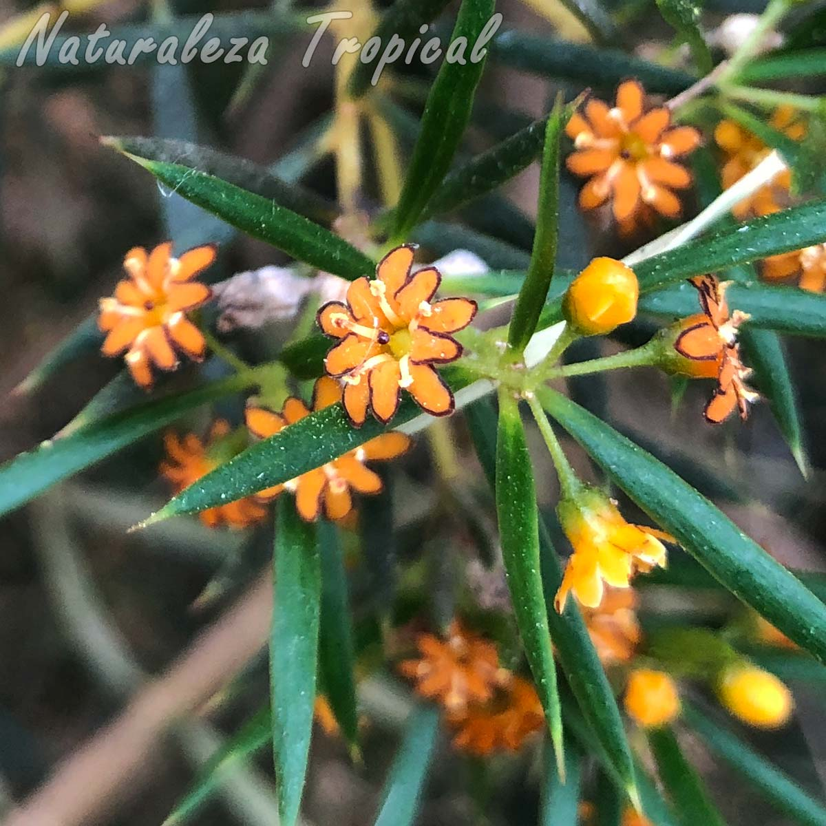 Detalles de las flores de la planta cubana Espuela de caballero, Jacquinia brunnescens