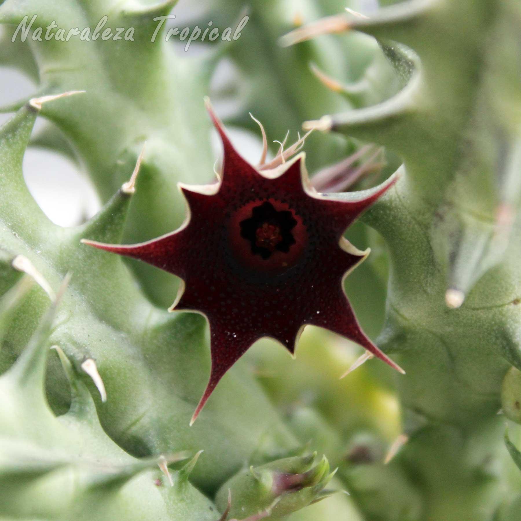 Otra vista de la flor de un híbrido del género Huernia (Huernia aff. macrocarpa x Huernia x keniensis)
