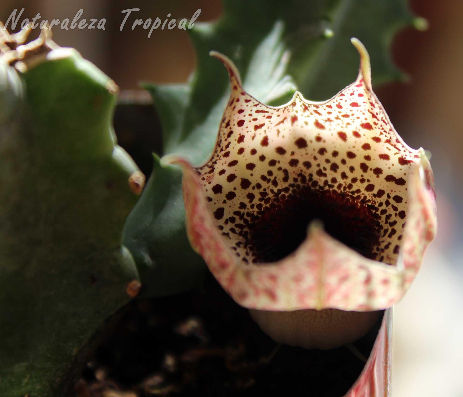 Otra vista de la flor de la planta suculenta Huernia kirkii