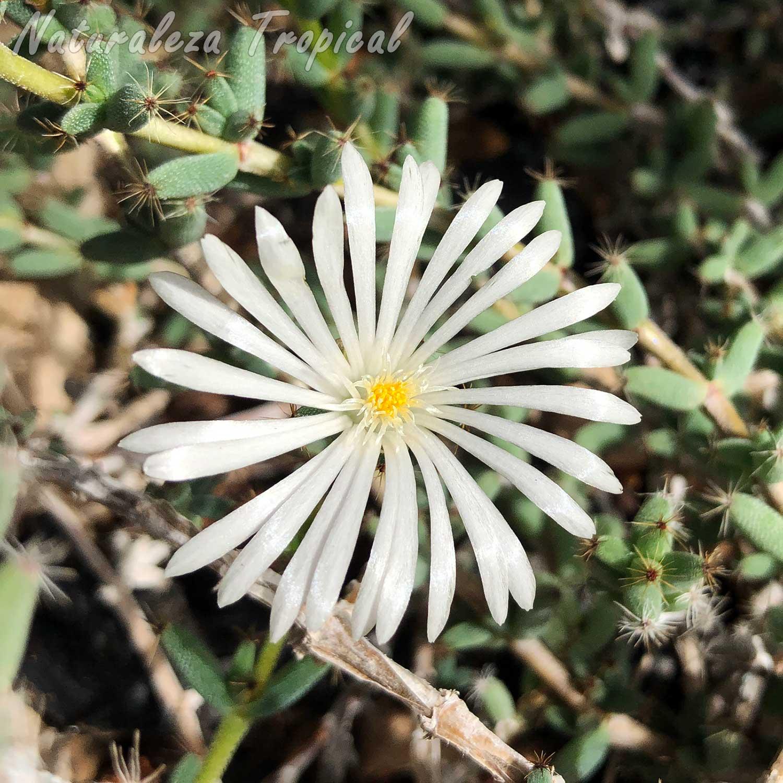 Floración de una planta suculenta del género Trichodiadema