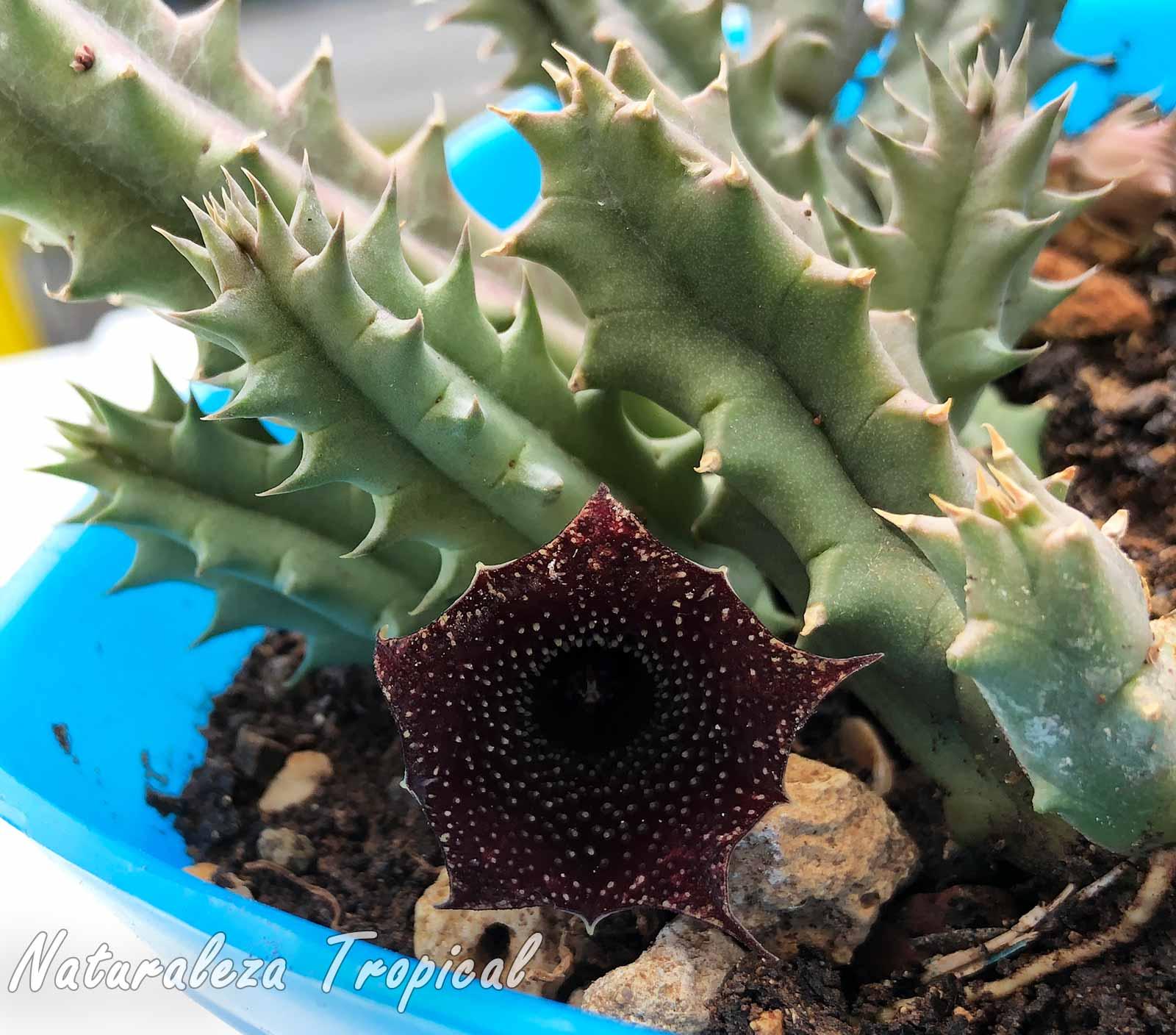 Vista de la flor y los tallos de un híbrido del género Huernia muy atractivo