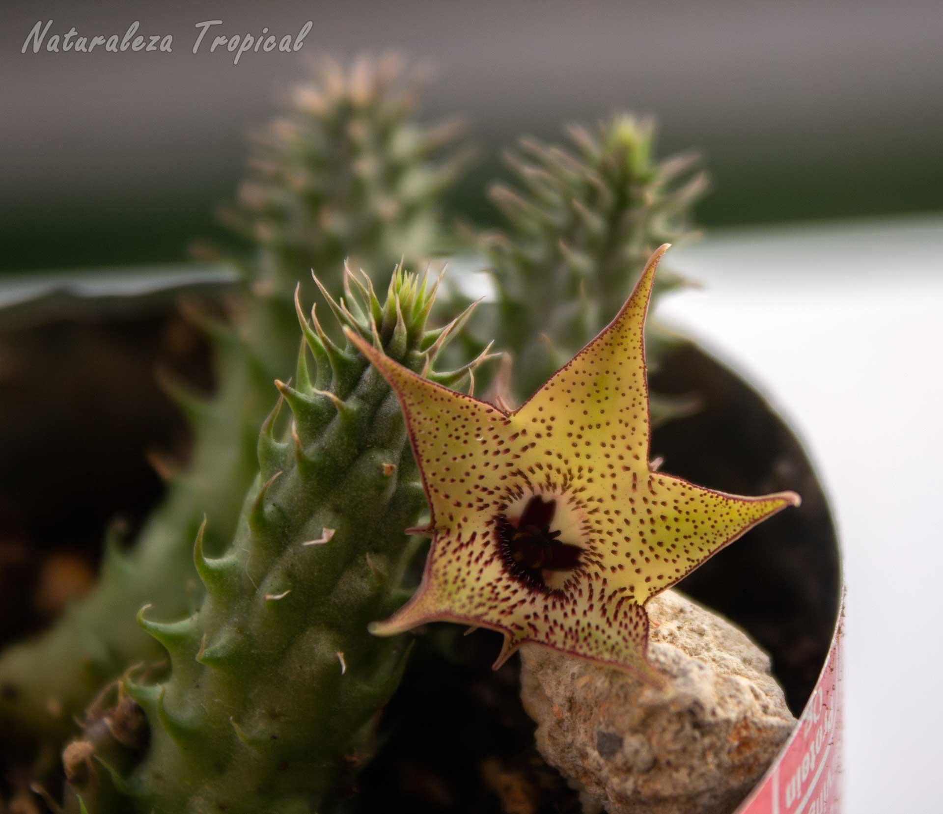 Flor y tallos de un híbrido de la planta suculenta Huernia pillansii