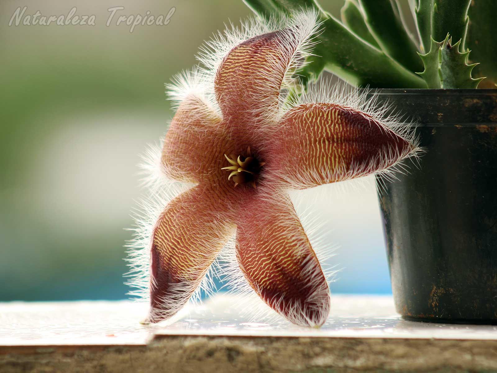 Vista lateral de la flor de un genotipo de la planta suculenta Stapelia grandiflora