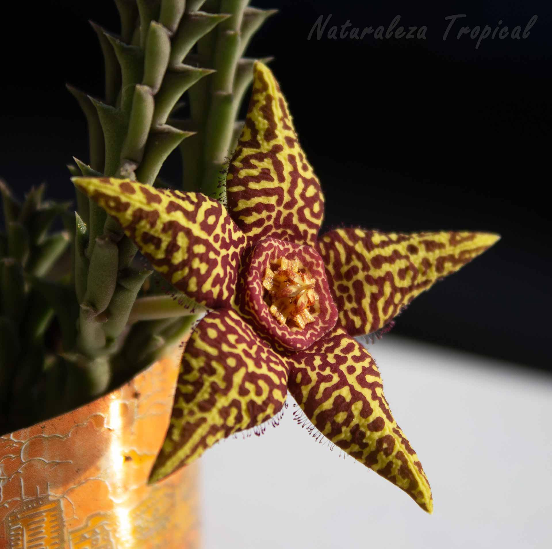 Vista lateral de la flor de la planta suculenta Orbea x halipedicola
