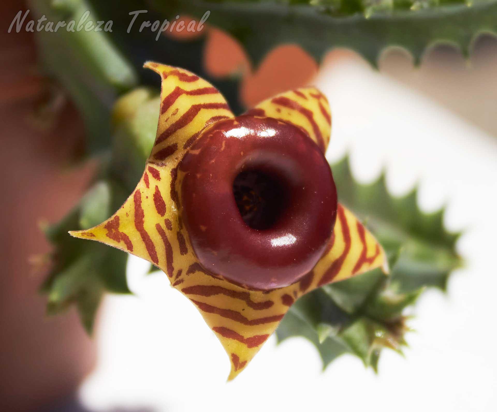 Vista semilateral de la flor típica de este genotipo de la planta suculenta Huernia zebrina
