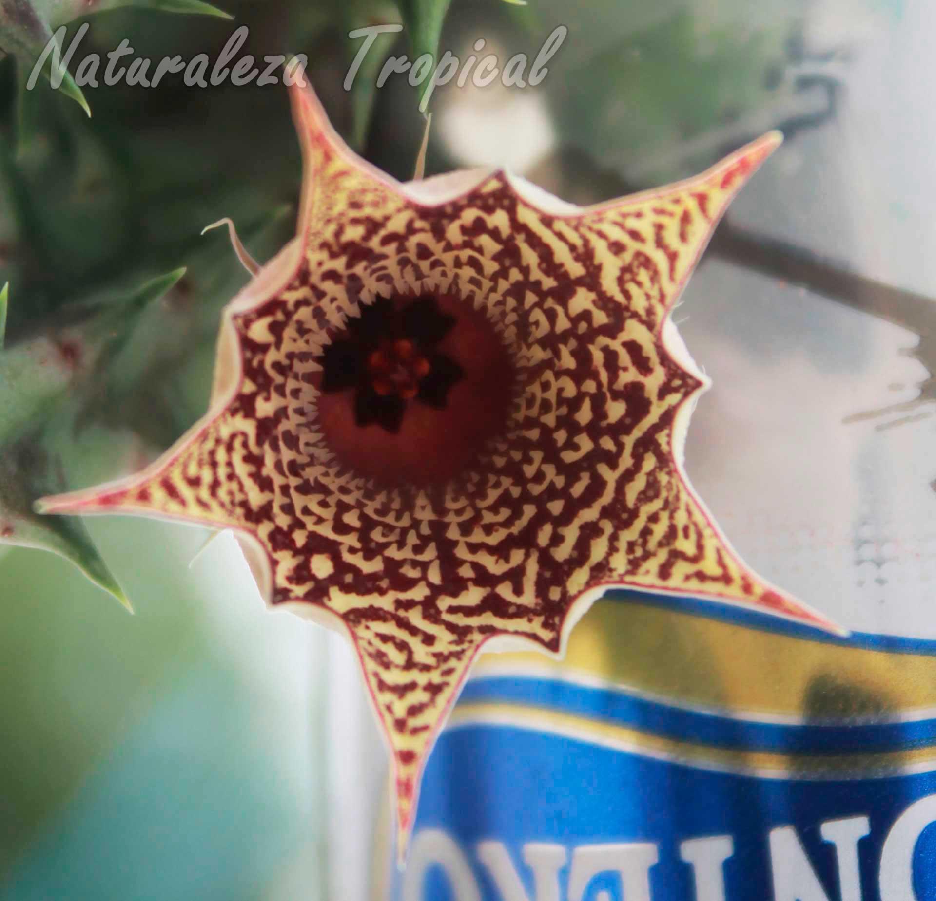Vista de la flor de la planta suculenta Huernia ˈHabaneraˈ clon 2