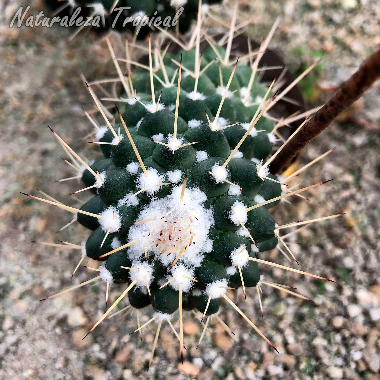 Vista del tallo del cactus Mammillaria compressa