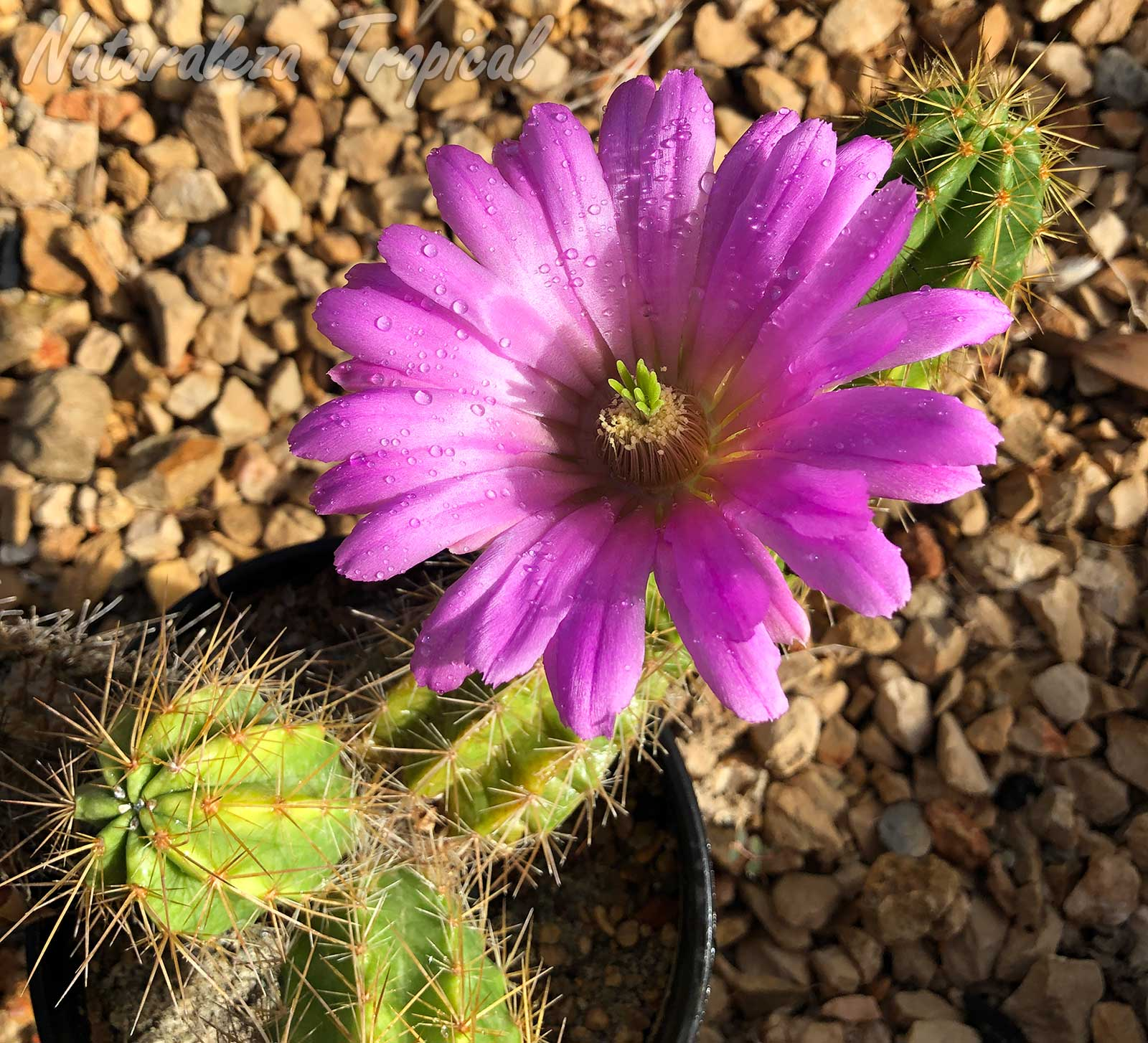 Vista de los tallos y flor característica del cactus Echinocereus viereckii