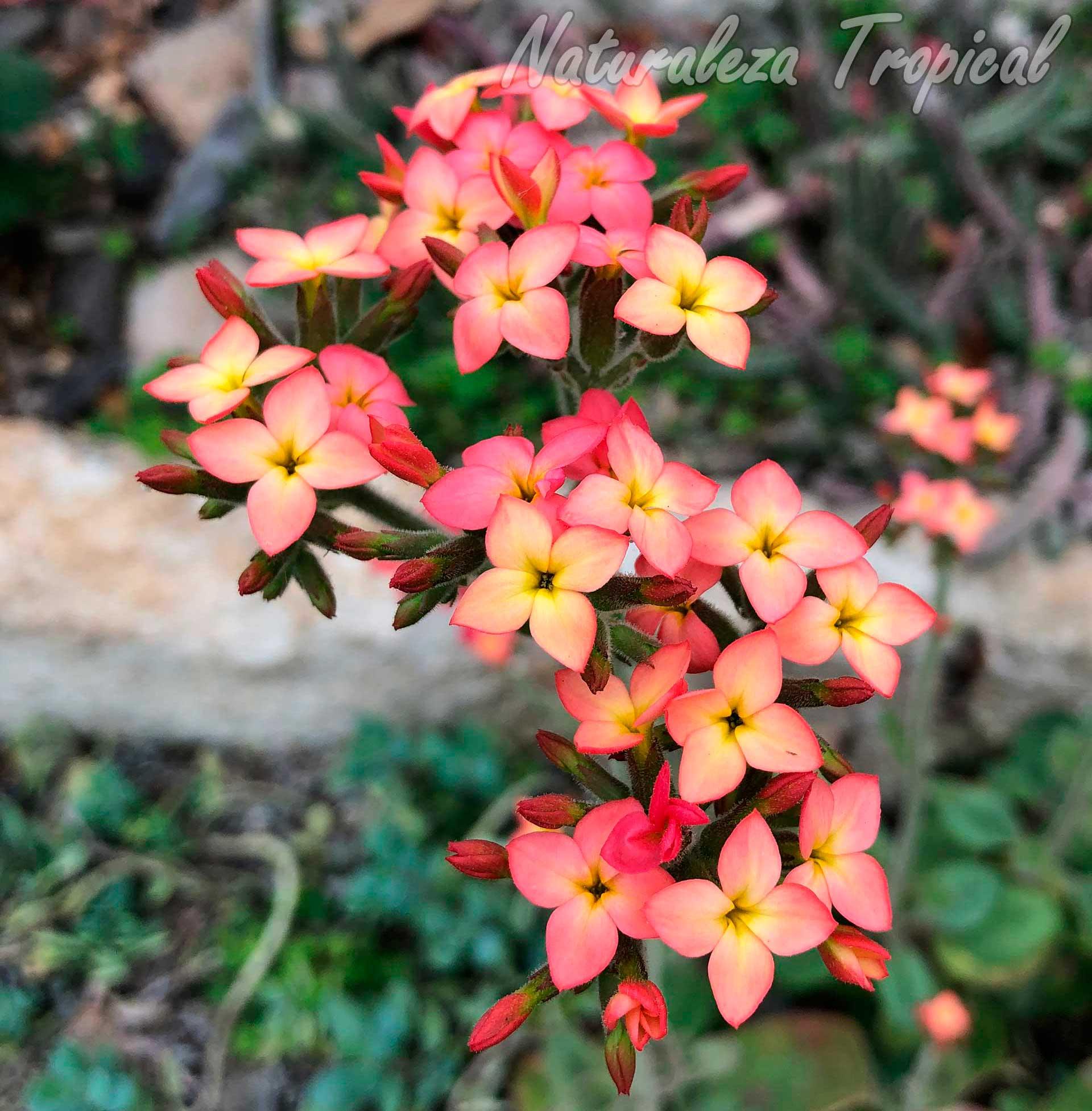 Floración típica de la planta suculenta Kalanchoe citrina