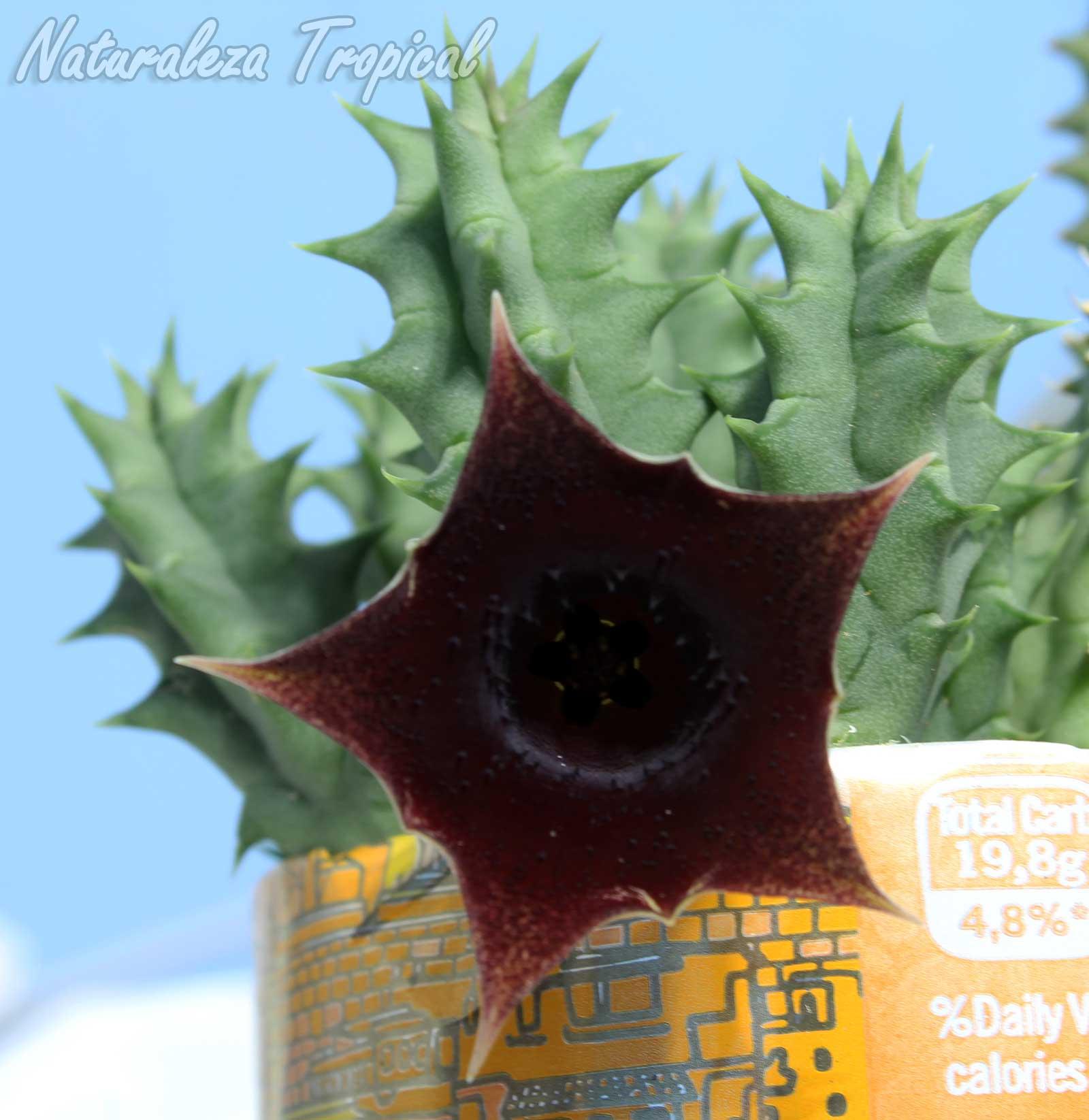 Vista de la flor y tallos de este híbrido del género Huernia