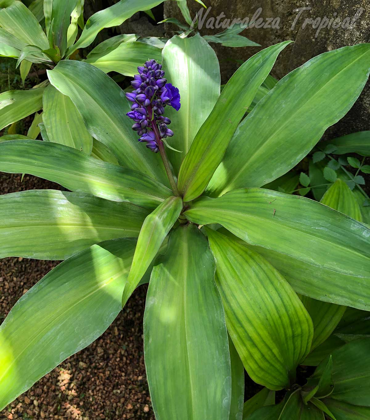 Follaje e inflorescencia de la planta conocida como Jengibre Azul, Dichorisandra thyrsiflora
