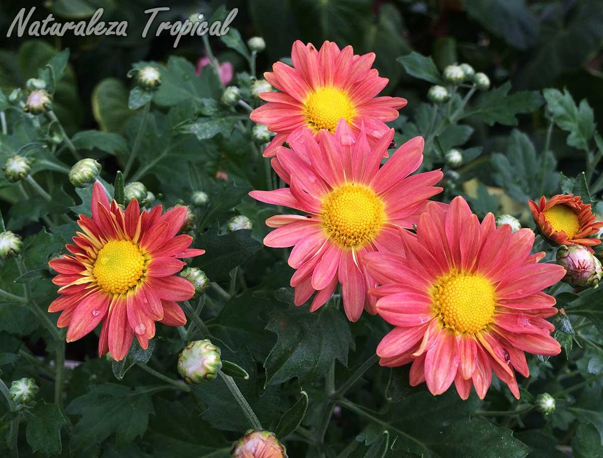 Floración de una variedad con inflorescencias rosáceas de Crisantemo, Chrysanthemum sp