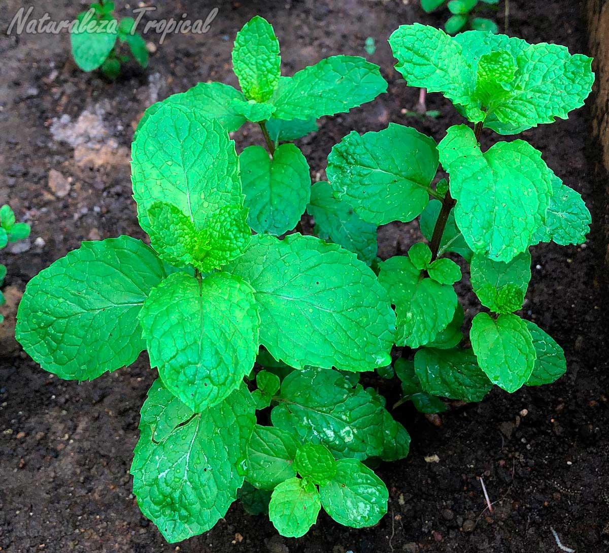 Vista de la planta conocida como Hierbabuena, Mentha spicata
