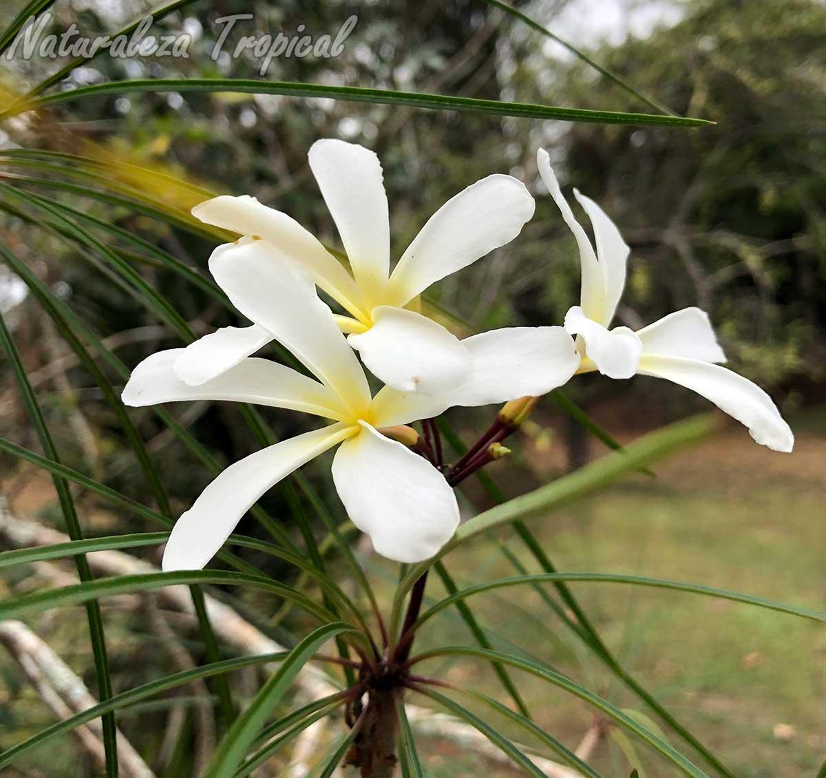 Flores características y hojas de la planta cubana Plumeria filifolia