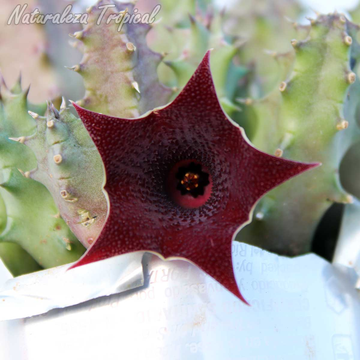 Vista frontal de la flor de la planta suculenta híbrida Huernia x macrocarpa clon 8