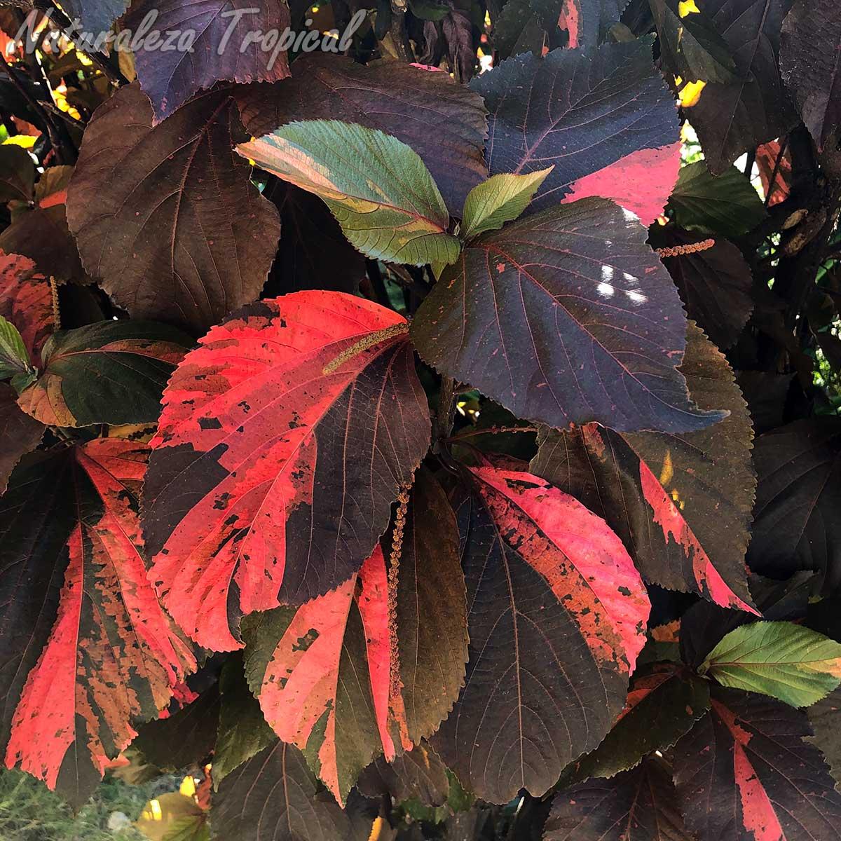 Vista de las hojas e inflorescencias de la planta ornamental Acalypha wilkesiana