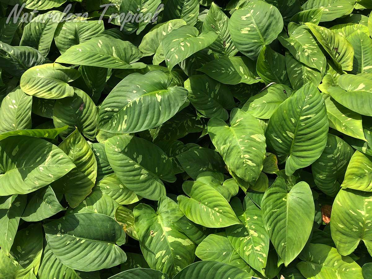 Vista del follaje característico de la planta ornamental Schismatoglottis neoguineensis