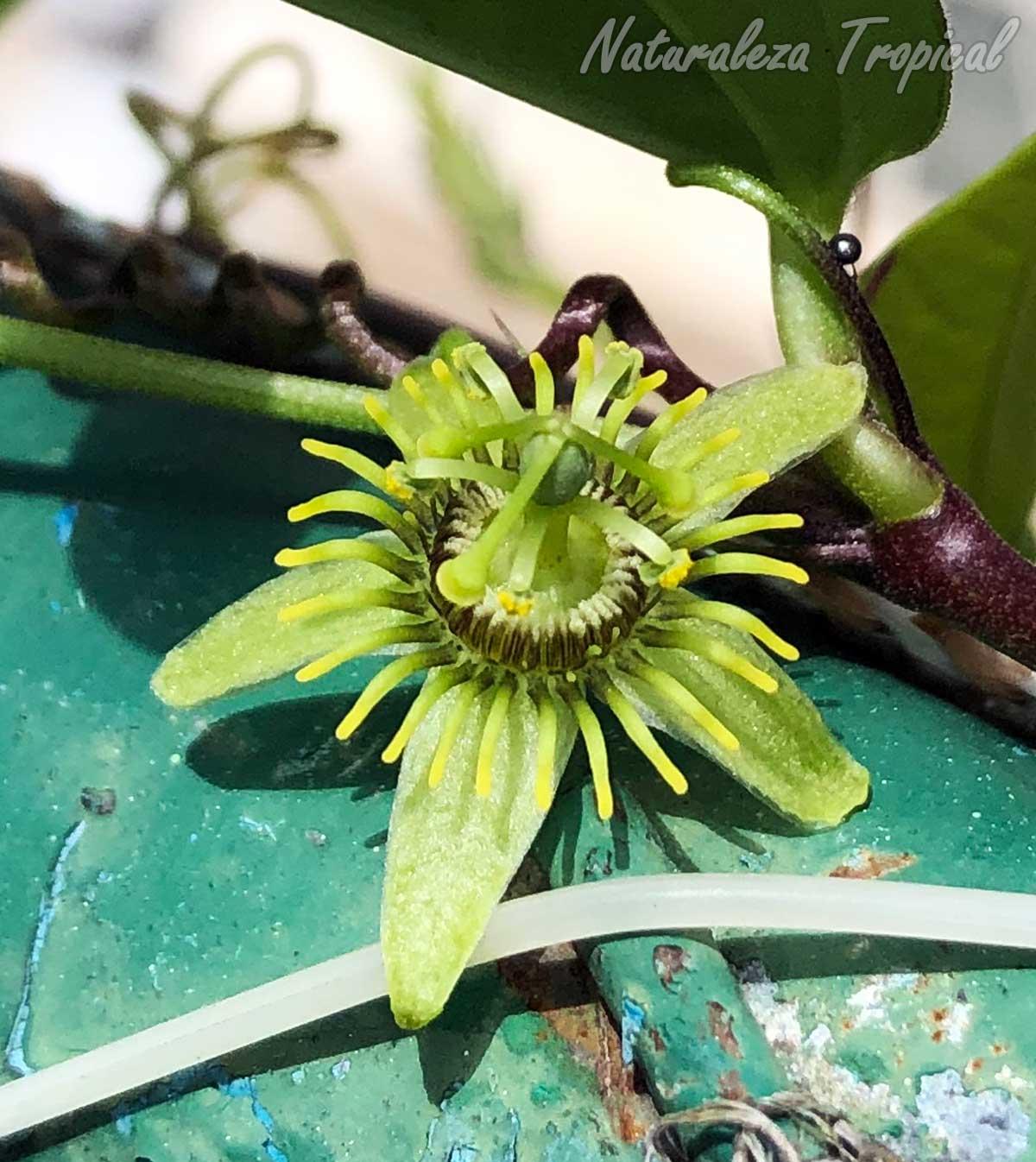 Vista de la flor de la planta trepadora Passiflora suberosa