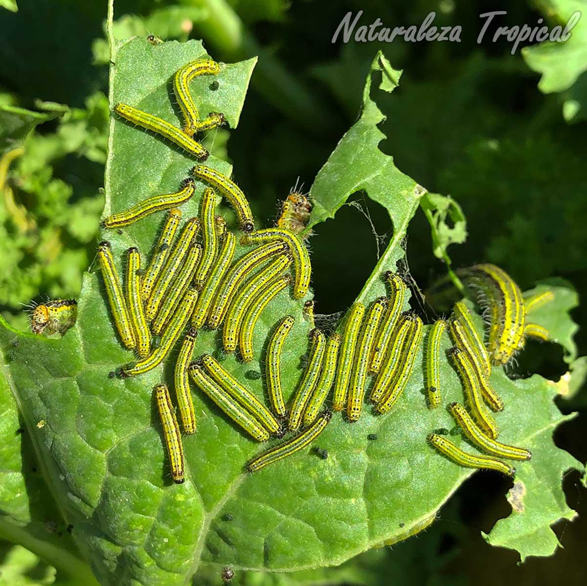 Orugas de mariposa devorando hoja de una planta del huerto