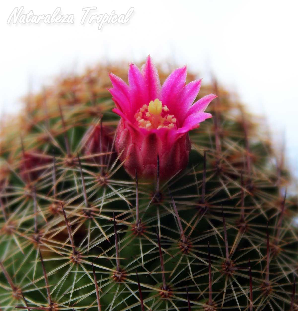Detalles del tallo y flores del cactus Mammillaria matudae