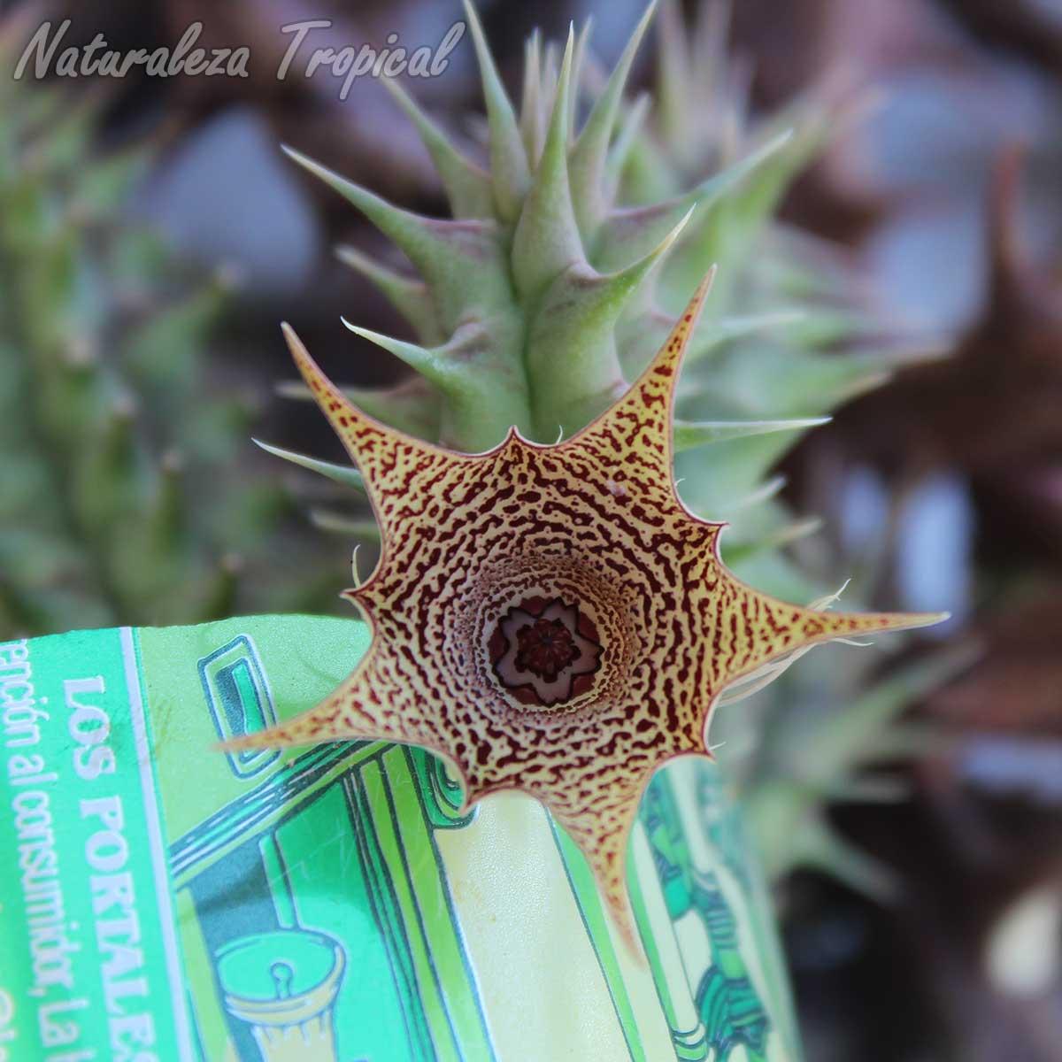 Vista de la flor característica de este híbrido desconocido del género Huernia
