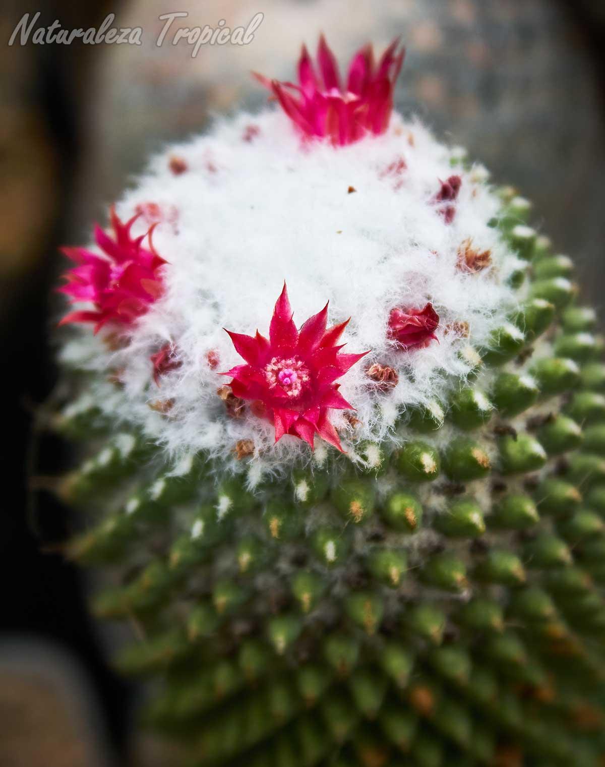 Vista de la floración y tallo del cactus Mammillaria polythele f. inermis (Mammillaria polythele cv. Stachellos)